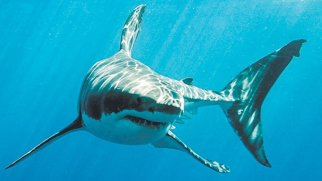 Great white shark: there's more to worry about from skin cancer, says an expert.
