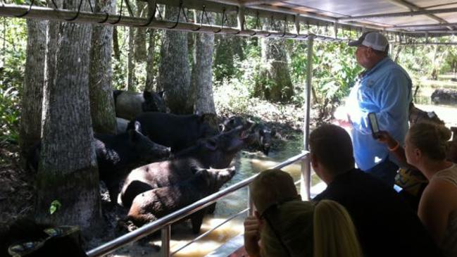 A tour guide coaxes a herd of wild pigs from the dense undergrowth. Picture: Jane Canaway