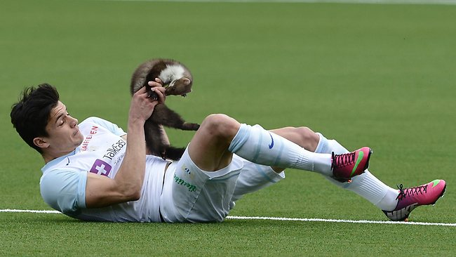 Zurich's Loris Benito caught the marten during the league match with Thun, but got a bite on his finger for his troubles. Picture: AP/Marcel Bieri.