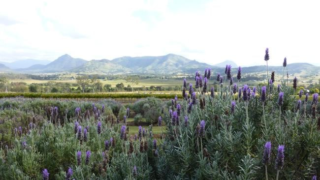 Kooroomba Vineyards and Lavender Farm at Mt Alford in the Scenic Rim area in the Southern Downs region of Queensland. Picture: Angela Saurine