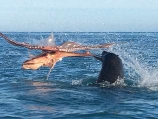 ONE TIME WEB USE ONLY - FEE APPLIES FOR REUSE - Fight between an octopus and a seal in Kaikoura. Picture: Conner Stapley/Caters News