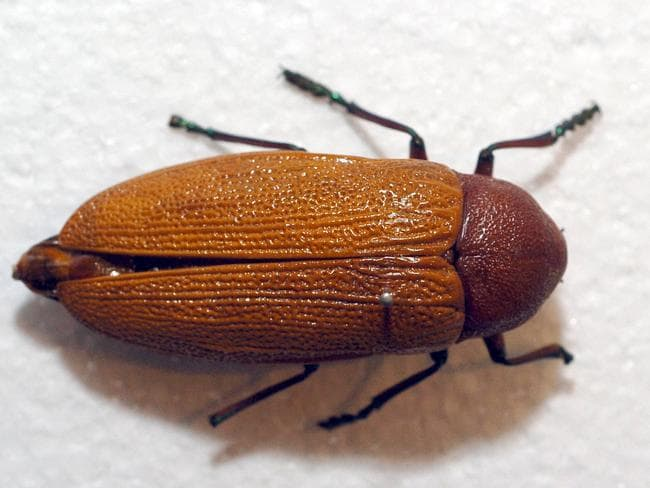 Jewel beetles rely on colour to find their female mates.