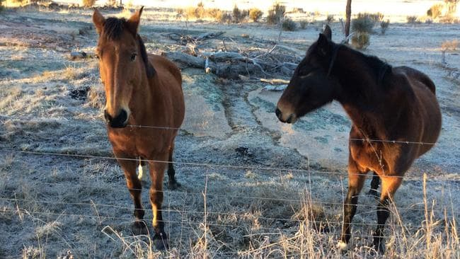 These horses brave a frosty morning in Stanthorpe where it was reported to be -6C. Pic: Paul Tully.