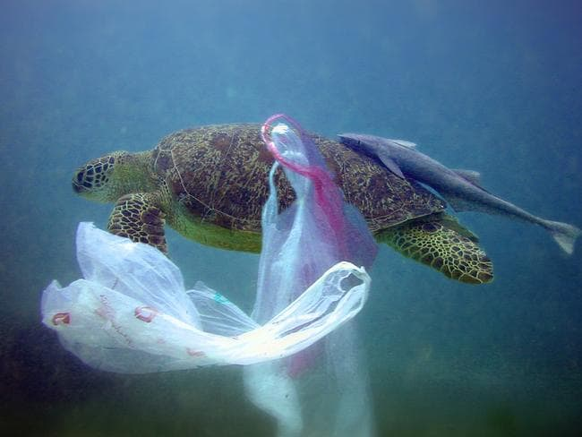 A 50 year old turtle swims in the ocean past a plastic bag. Rubbish from humans can harm or kill marine life when polluting the water as some animals eat or become tangled in plastic.