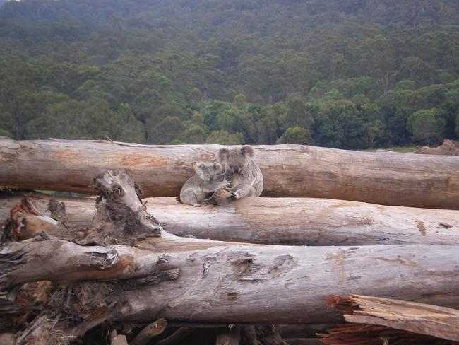 Koala mother and joey seeking refuge on a bulldozed log pile, near Kin Kin in Queensland.