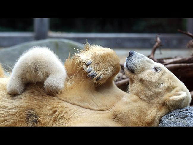 Polar bear cub Anori cuddles with his mother Vilma at the open-air enclosure at the zoo in Wuppertal, western Germany. Picture: Getty