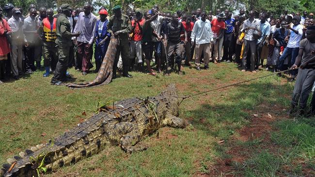 One-tonne killer ... hundreds gathered to watch Uganda Wildlife Authority staff capture the monster croc. Picture: AFP