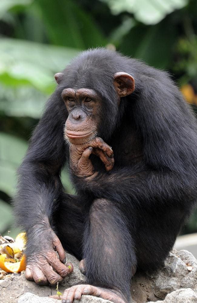A lot to answer for ... a chimpanzee blissfully unaware of what its ancestors were up to.