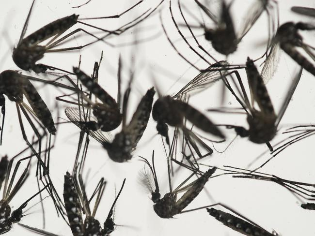 Zika is most commonly transmitted by the Aedes aegypti mosquito, which also spreads dengue fever and the chikungunya virus. Picture: Felipe Dana/AP