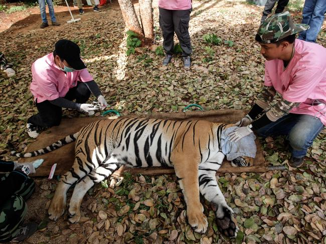 Thai vets tend to a sedated tiger at the Wat Pha Luang Ta Bua Tiger Temple on June 1, 2016, after a raid by wildlife authorities. Picture: Dario Pignatelli/Getty Images