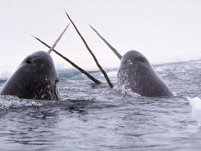 Narwhals. Picture: Glen Williams, National Institute of Standards and Technology