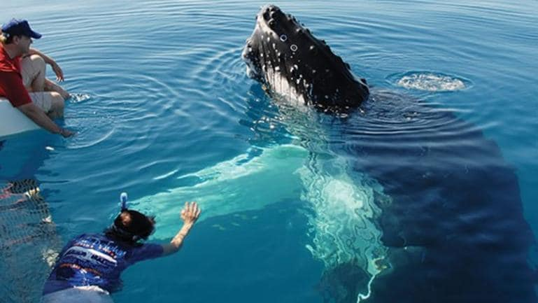 Ningaloo Marine Park visitors could soon get in the water with humpback whales and swim as close as 300 metres as part of the WA trial. Photo: Blue Dolphin Marine Tours, Hervey Bay