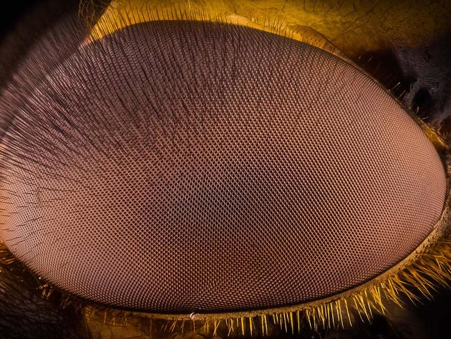 The hover fly's eye looms towards the camera to observe its observer. Picture: Kutub Uddin/ Caters News