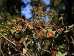 <p><strong>MONARCH BUTTERFLY ROOSTS, MEXICO</strong><br /> <br /> Instinct is a curious thing. How does a creature that lives mere weeks or months know how to find its way to a spot thousands of kilometres away, without ever having been there before? <br /> <br /> It's not as though insects are great map-readers. Yet somehow countless millions of monarch butterflies make the annual migration south from summer territory in the USA and Canada to spend winter in Mexico's oyamel fir forests. <br /> <br /> Seeing clouds of these pretty orange, black and white insects would be impressive enough but they also roost on trees in numbers huge enough to bend branches.<strong><br /> <br /> Where to catch it:</strong> The picturesque town of Angangueo about 130km west of Mexico City is a handy base for visits to El Rosario Butterfly Biosphere Reserve.<br /> <br /> <strong>Picture:</strong> Scott Clark/Flickr</p>