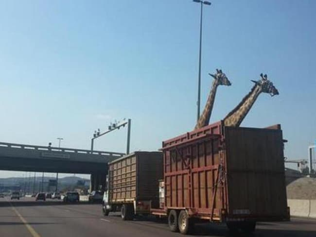 Low clearance ... A giraffe in South Africa has died after his head smashed a highway overpass.