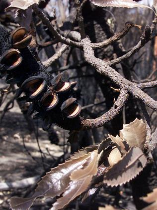 A burnt Banksia at the Blue Mountains National Park after bushfires. Picture: Geoff Ward.