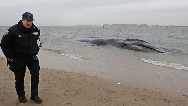 An emaciated 12-metre long fin back whale that beached itself in the Breezy Point neighborhood of the Rockaways in Queens, New York. (AP Photo/Kathy Willens)