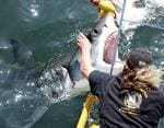 <p>Training ... critics say shark tours, in which blood and guts are thrown overboard to attract sharks, teach great whites that boats = dinner / Image supplied</p>
