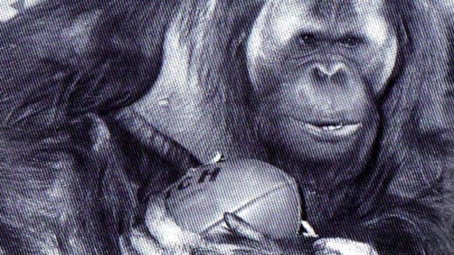 George the orangutan with his hessian bag and Australian Rules footy. Photo: The Advertiser