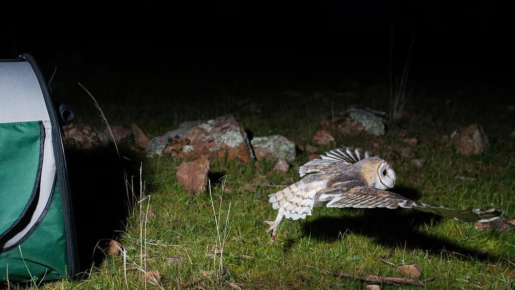 Bev Langley from Minton Farm Animal Rescue Centre released six orphaned barn owl chicks on Sunday night in Auburn after they were nursed to adulthood. Photo: Nat Rogers
