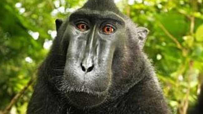 PETA, photographer settle copyright ownership of monkey selfie