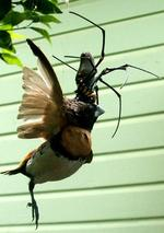 <p>These amazing images of a mammoth spider devouring a bird were taken in the backyard of an Atherton property, west of Cairns.</p>