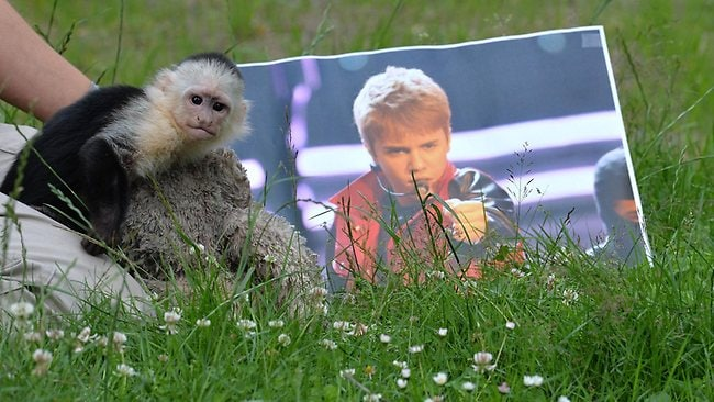 "The capuchin monkey ""Mally"" poses next to a picture of Justin Bieber as he plays in his new home, the Serengeti Park in Hodenhagen, northern Germany."