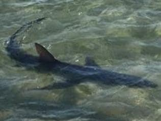 A shark that was spotted off Hampton Beach on 26/02/17. Picture: Supplied