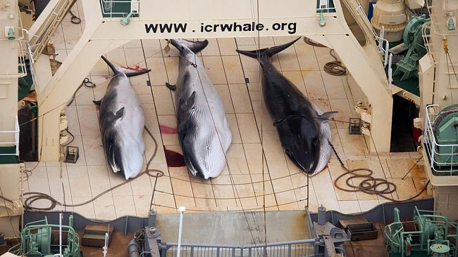Three dead minke whales lie on the deck of the Japanese whaling vessel Nisshin Maru this year. Picture supplied by Sea Shepherd Australia.