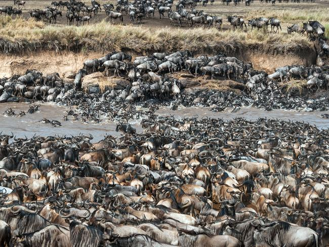 Can you spot the zebras in this herd of wildebeest? Picture: Caters News Agency