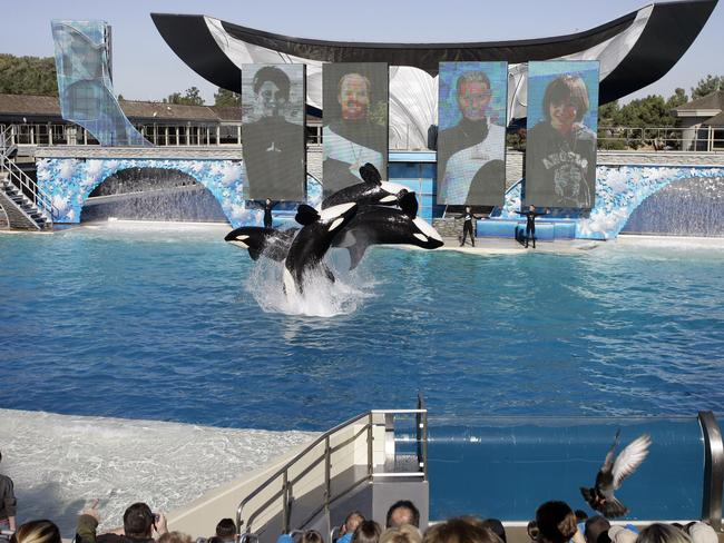 Four killer whales leap out of the water while performing at SeaWorld in San Diego.