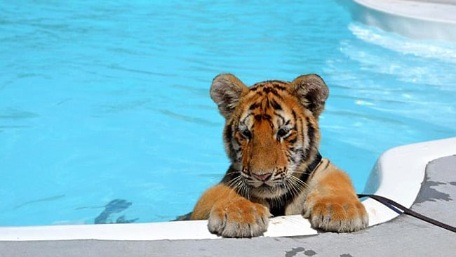 The tigers must weigh less than 18 kilograms due to a local law. Picture: Dade Citys Wild Things zoo