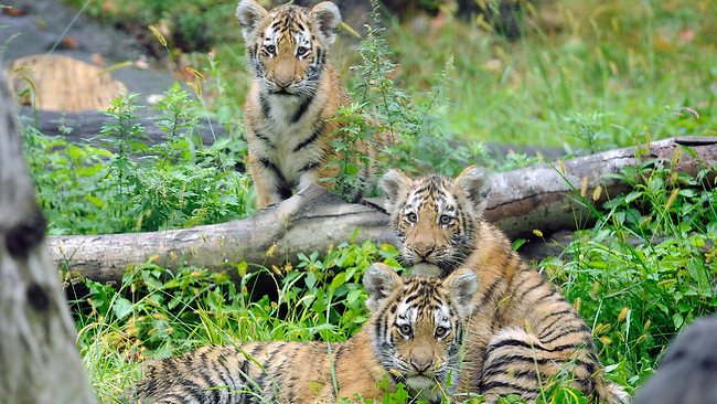 Bronx Zoo tiger mauling