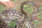 <p>Big amastine python caught in a chicken pen at Cow Bay in QLD.</p>