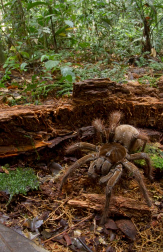 Spider dog ... Goliath Bird-eating Spider (Theraphosa blondi) in the rainforest, Sipaliwini, Surinam. Picture: Getty
