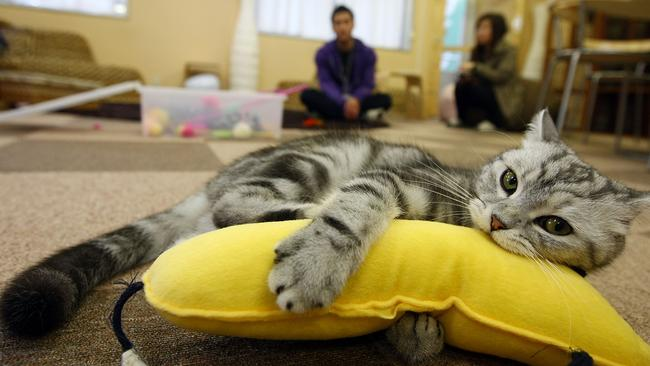 A cat plays at Nekorobi cat cafe in Tokyo. Photo: Junko Kimura/Getty Images