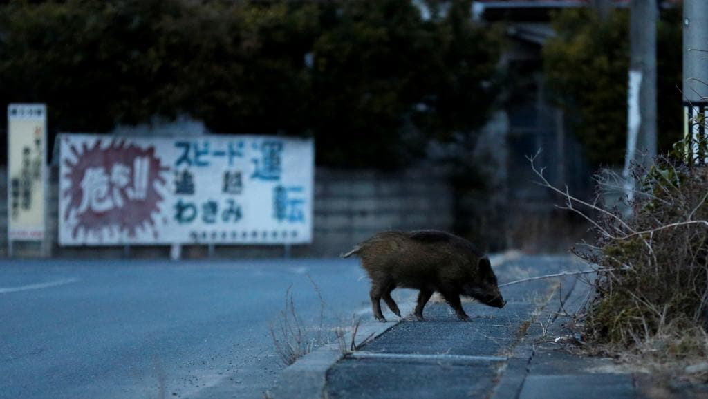 Toxic: A wild boar forages for food area in residential evacuation zone near Tokyo Electric Power Company's tsunami-wrecked Fukushima Daiichi nuclear power plant in Namie, Fukushima. Picture: Reuters