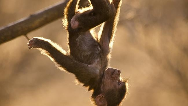 Hamadryas infant hanging upside down from tree. Picture: John Brown.
