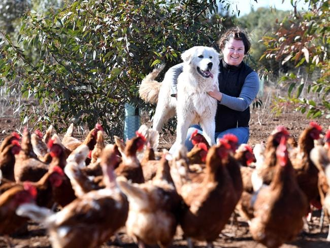 TOP DOG: Nicole Harris, from Gumview Free Range Eggs, with one of her beloved maremma watchdogs, Fritz. 