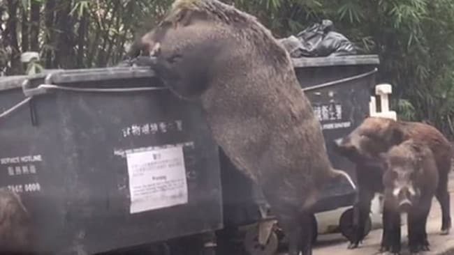 The giant pig stood on the tips of its trotters to reach into the garbage bin.