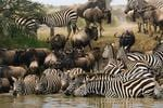 <p><strong>GREAT MIGRATION, SERENGETI NATIONAL PARK, TANZANIA</strong><br /> <br /> One wildebeest is amusing: a shaggy, skinny cow with a head seemingly too narrow for a brain. But 1.3 million wildebeest is unimaginably impressive. <br /> <br /> In a breathtaking spectacle vast herds of gnu sweep across the East African savannah in an annual circuit accompanied by hundreds of thousands of zebras, gazelles and elands - and the predators who feed on the rumbling masses. <br /> <br /> The wildebeest spend the December to May rainy season in the southern Serengeti, nosing northwest before crossing into Kenya's Masai Mara National Reserve. <br /> <br /> Most dramatic is the mass crossing of the Grumeti River where crocodiles wait to snap up unlucky wildebeest.<br /> <br /> <strong>When to catch it:</strong> The exact timing of the migration varies each year but the Grumeti crossing usually occurs between May and July.<br /> <br /> <strong>Picture:</strong> Ariadne Van Zandbergen/Lonely Planet Images</p>