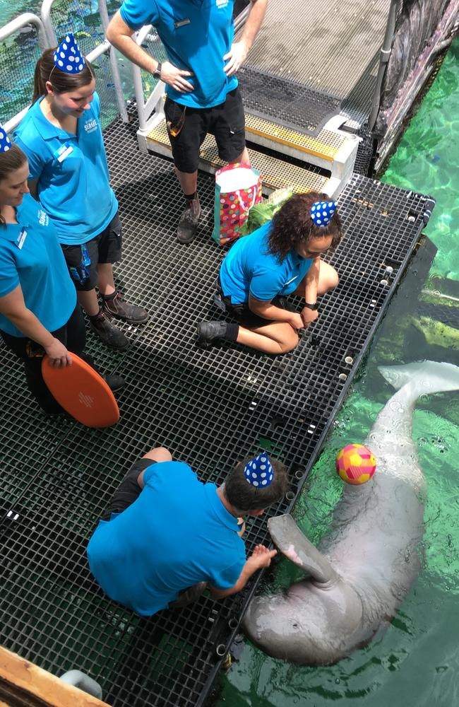 The team at Sea Life Sydney Aquarium present Pig with his birthday gifts.