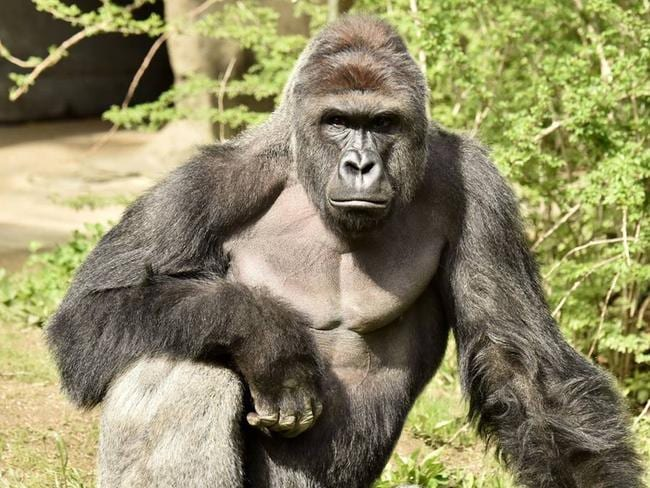 Harambe, a 17-year-old male Western lowland gorilla, was shot dead inside his enclosure at the Cincinnati Zoo. Picture: Cincinnati Zoo