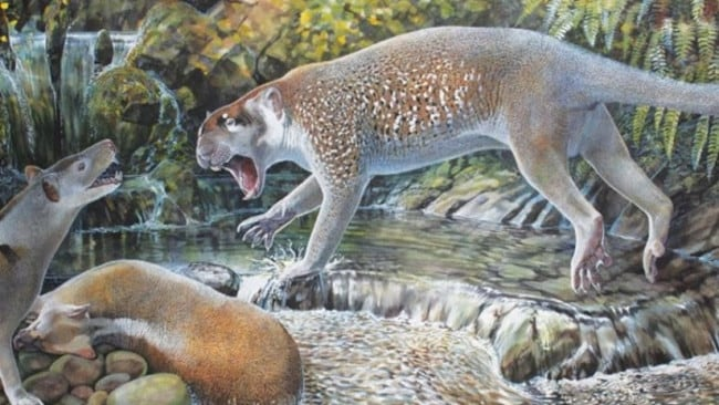 Artist's impression of newly discovered Australian marsupial lion Wakaleo schouteni Illustration by Peter Schouten.
