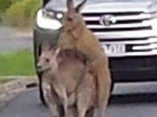 Two mating kangaroos stopped traffic in Melbourne yesterday morning. Picture: 3AW Rumour File