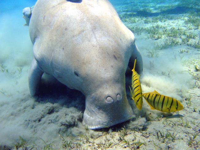 The Dugong. Picture: Flickkerphotos, Flickr