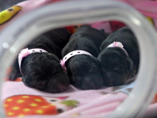 Three cloned puppies in an incubator at the Boyalife facility in Tianjin. Picture: AFP/BOYALIFE GROUP