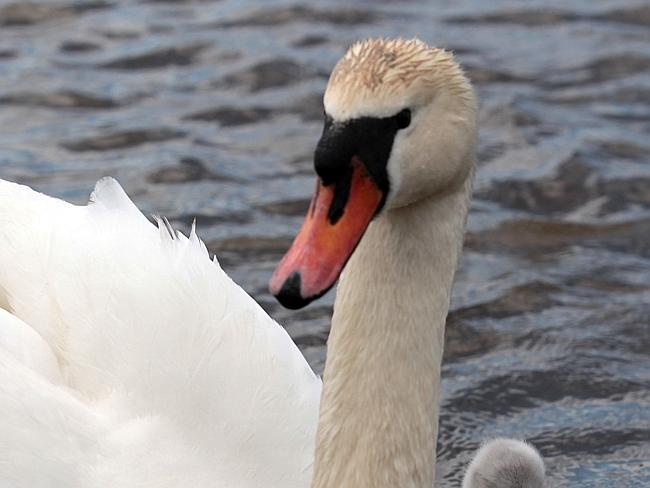 "Vicious ... mute swans ""attack by smashing at their victims with bony spurs in the wings,"