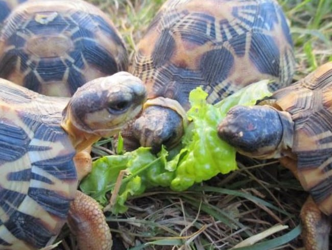 Radiated tortoises at feeding time. About 1,500 of the rescued tortoises are now healthy and rehabilitated. Picture: Wildlife Conservation Society
