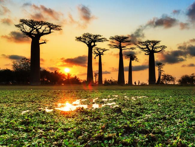 ESCAPE: APR 2. Doc Holiday. Beautiful Baobab trees at sunset at the avenue of the baobabs in Madagascar. Picture: istock